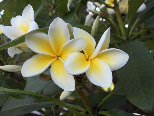 Blumelia