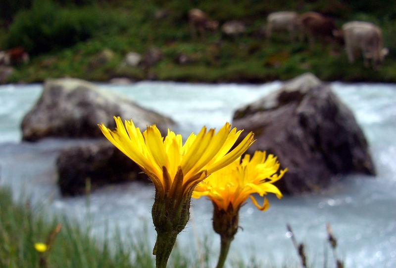 Blumen auf der Alp am Bach