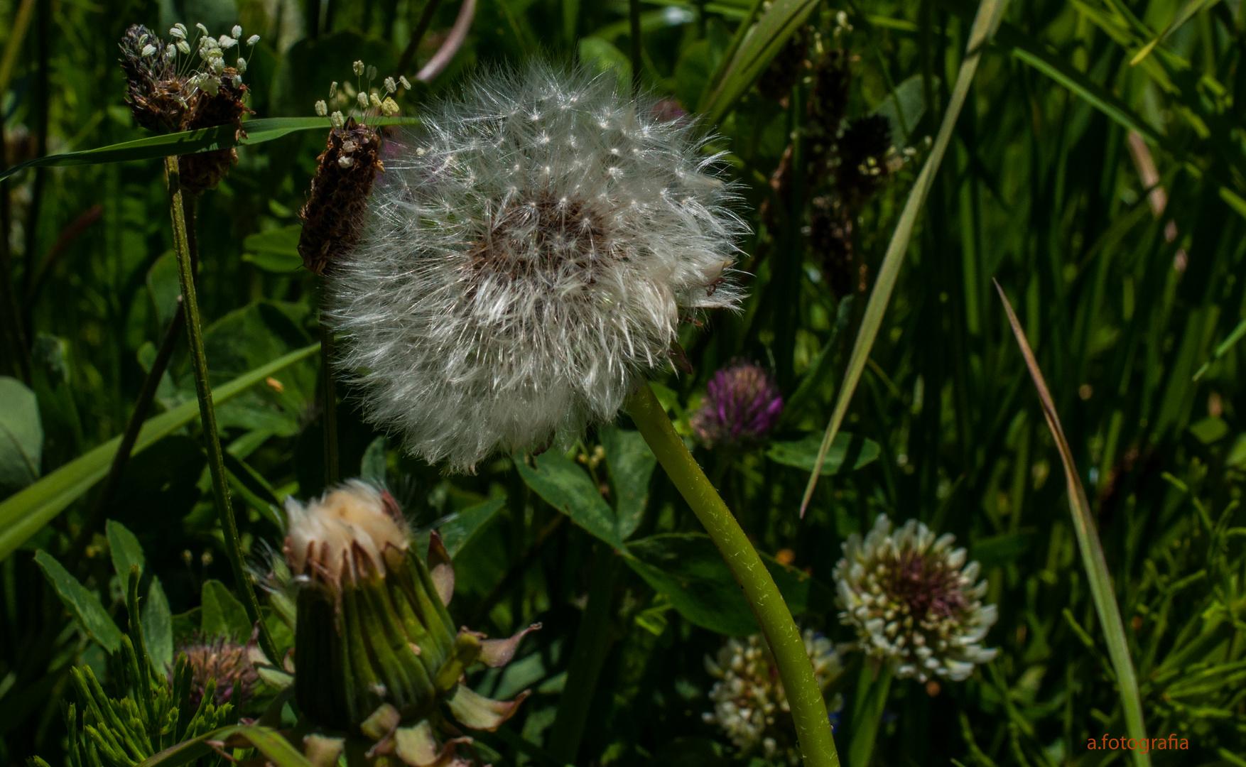 Blumen auf der Alpwiese.....