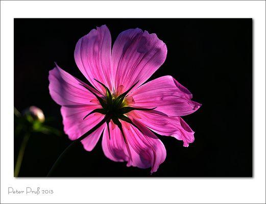 Blumen aus dem Garten meiner Frau (3)