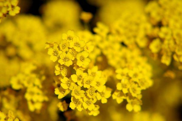 Blumen der Sonne