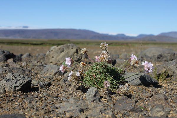 Blumen im Hochland von Island