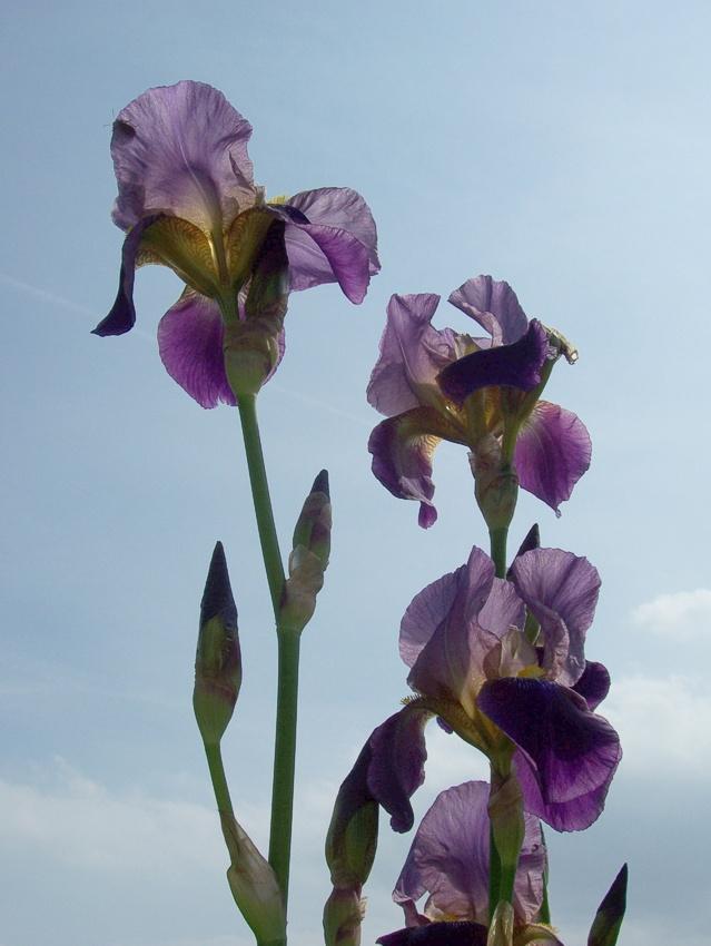 Blumen im Rosengarten Schleswig