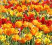 Blumen-Meer eine Farbe? von HDR-Robi