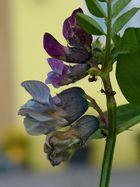Blumen mit Ameisen