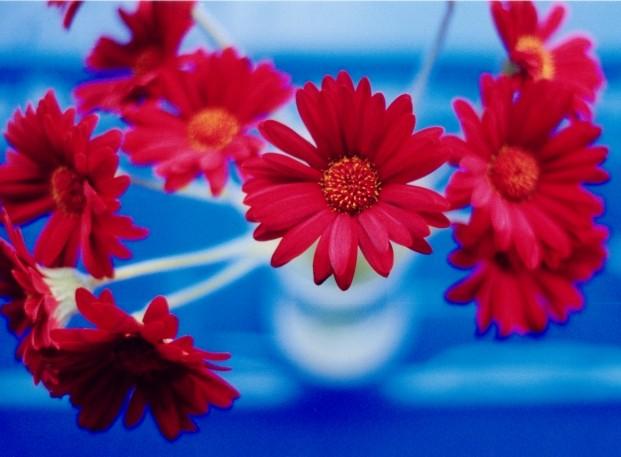 Blumen Rotblau