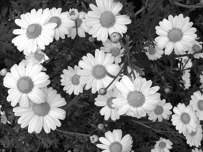 Blumenbilder Schwarz Weiß blumen sw bild foto 7on k aus natur schwarz weiss