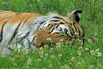 """Blumen-Tiger"""