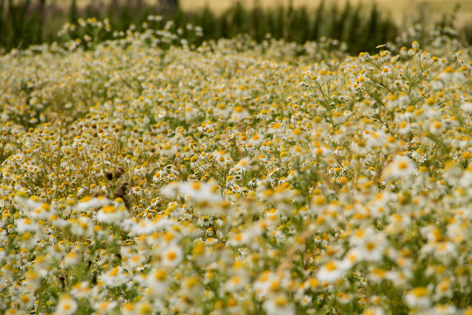 Blumenbevölkerung