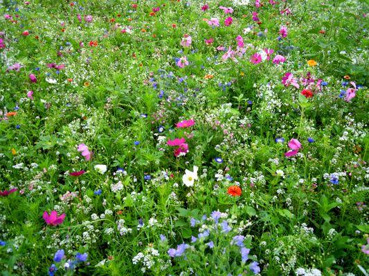 Blumenfeld in der Stadt Liezen