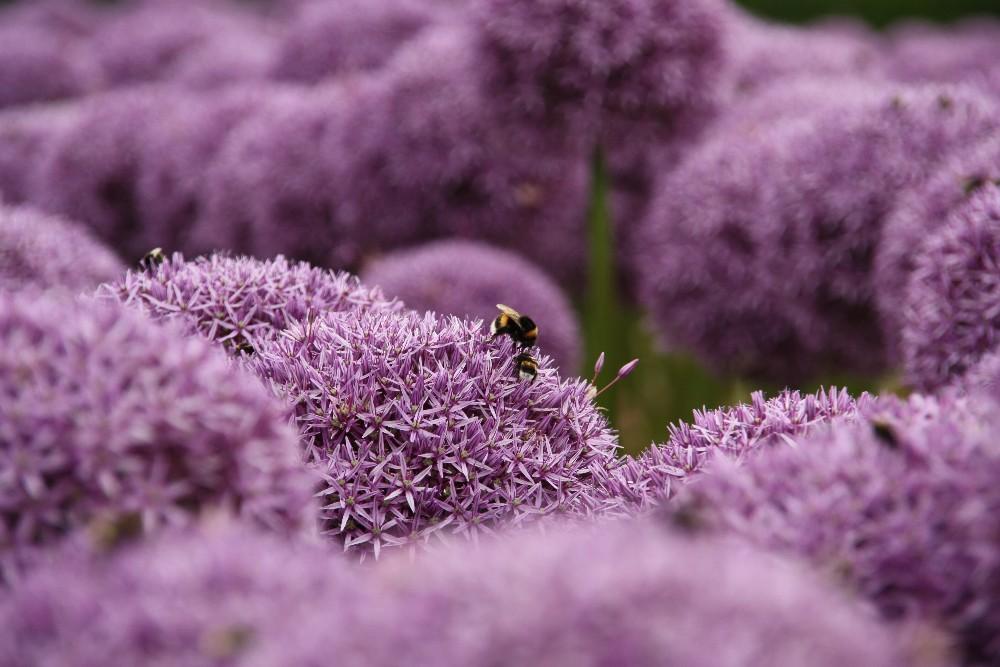 Blumenfeld, lila, mit zwei Hummeln