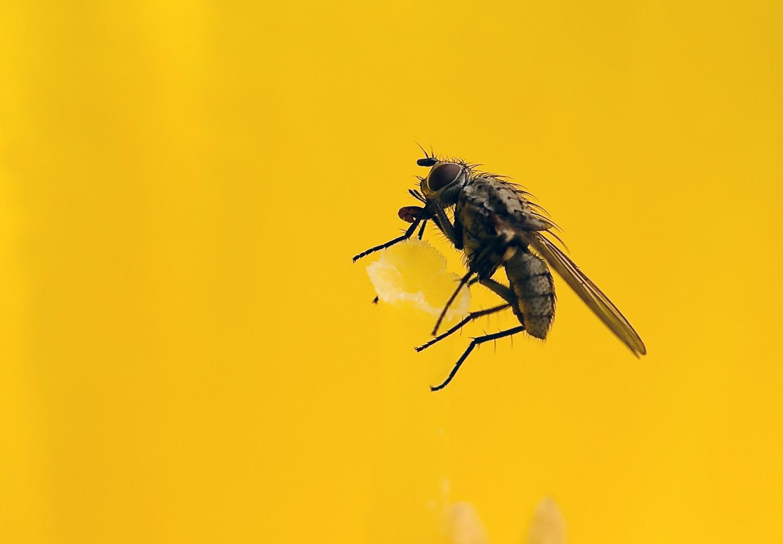 Blumenfliege (Familie Anthomyia)