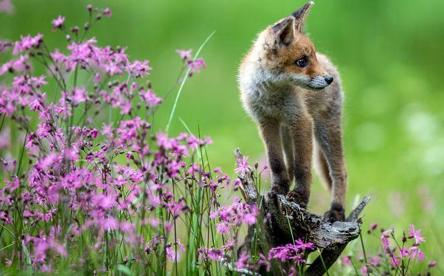 Blumenfuchs