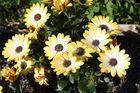 Blumengelb