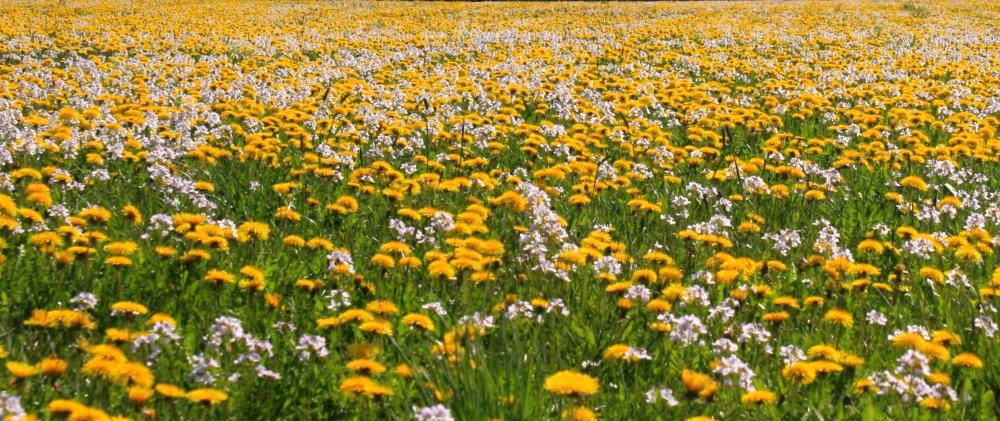 Blumenmeer von Schmidpeter Renate