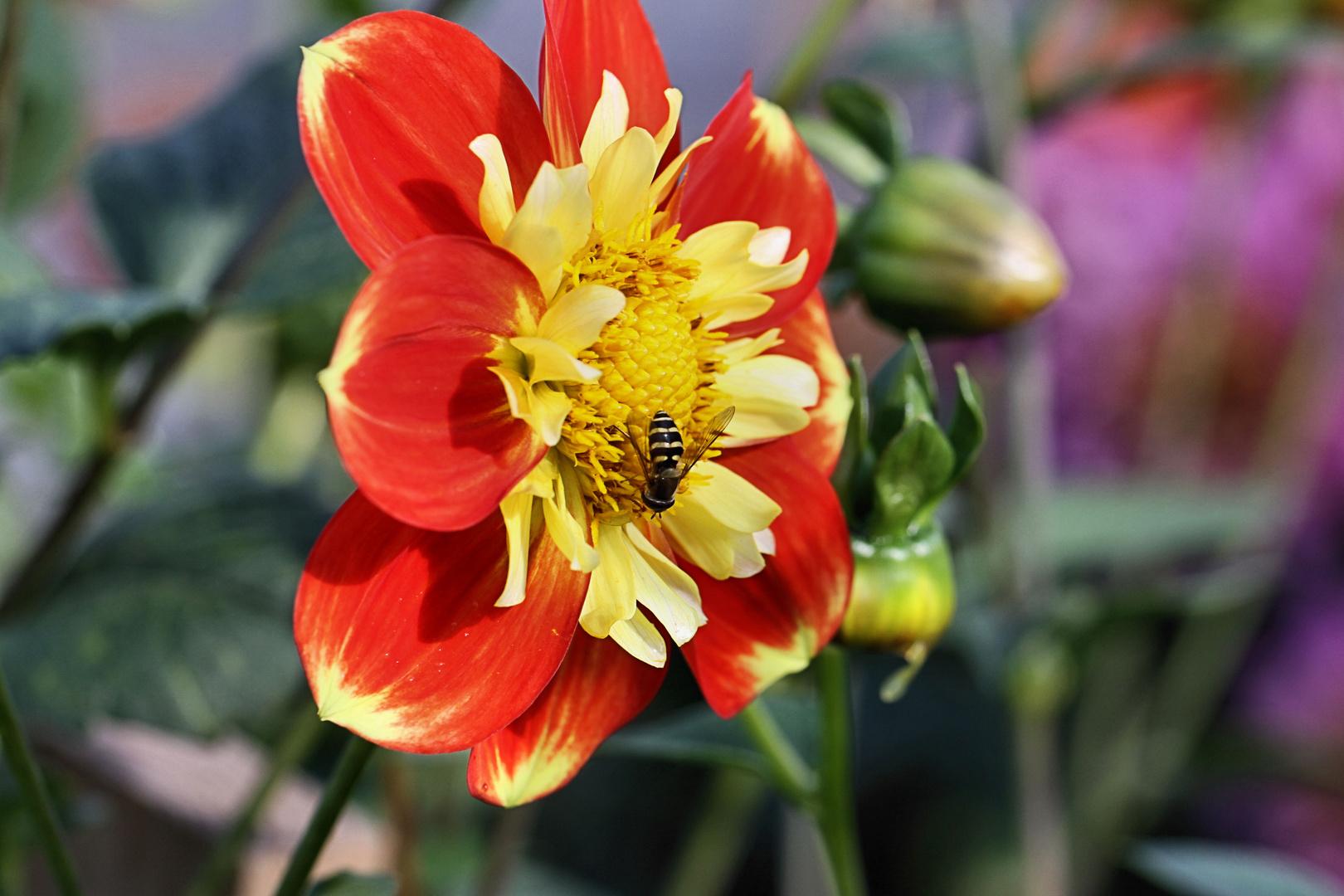 Blumenpracht im Bauerngarten (Tanja)