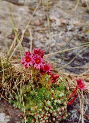 Blumenstrauss im Hochgebirge
