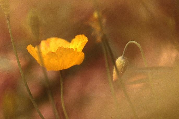 Blumentraum