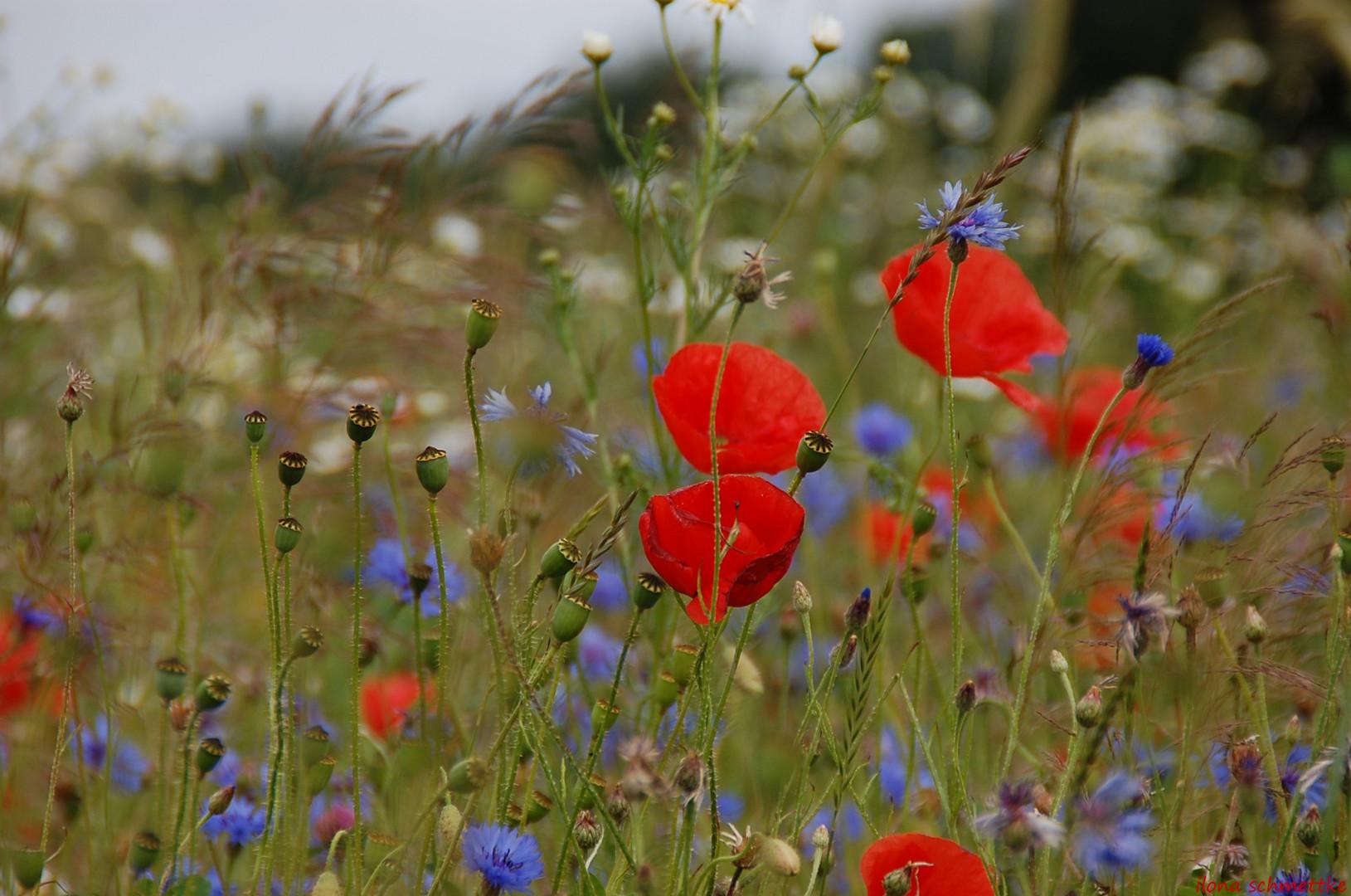 Blumenwiese im Juni