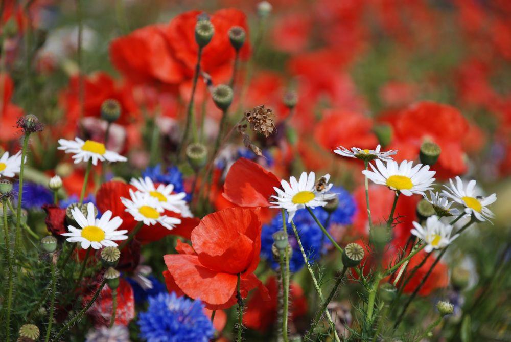 Blumenwiese in voller Pracht