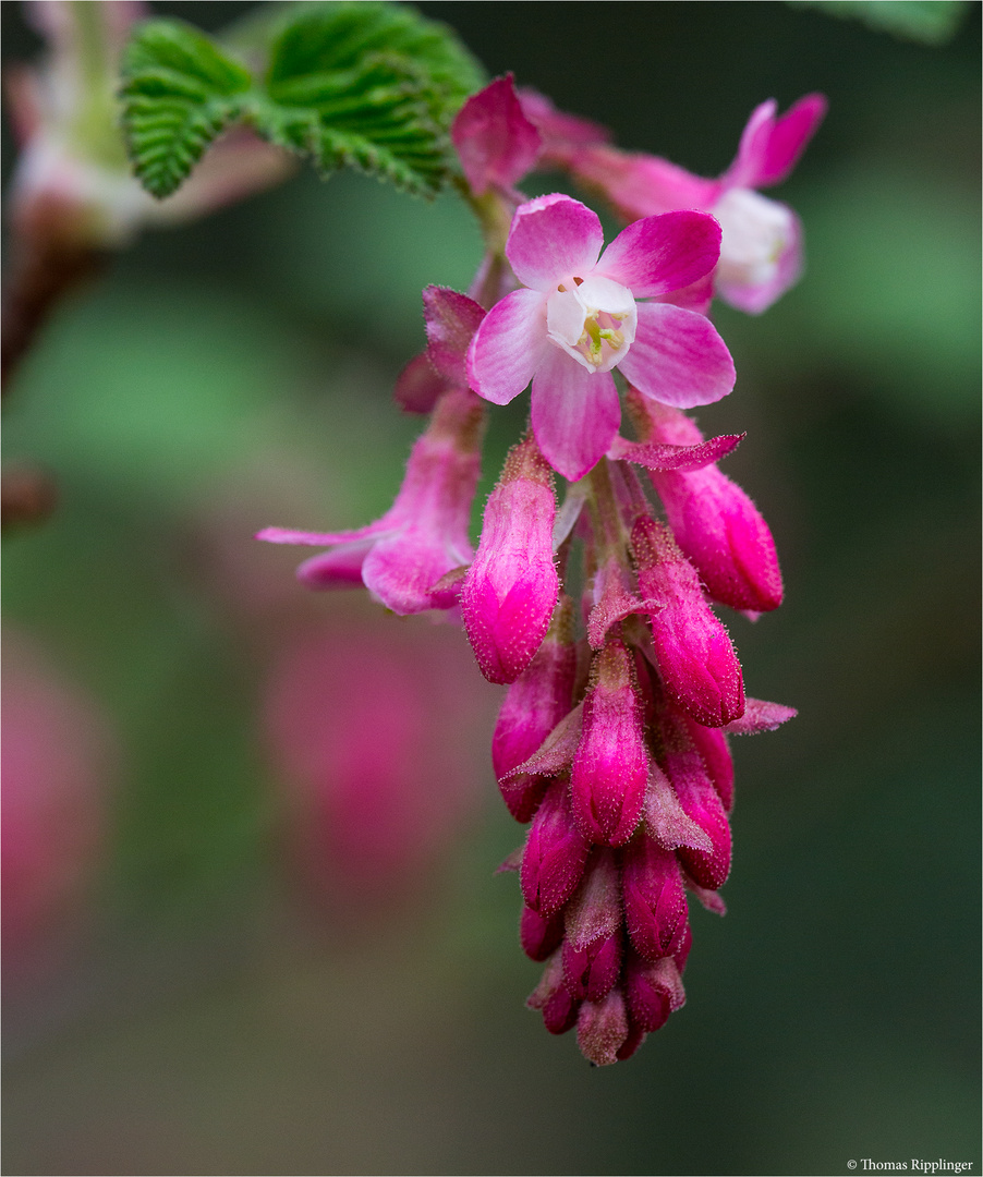 Blut Johannisbeere (Ribes sanguineum)...
