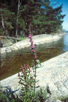 Blut-Weiderich (Lythrum salicaria)