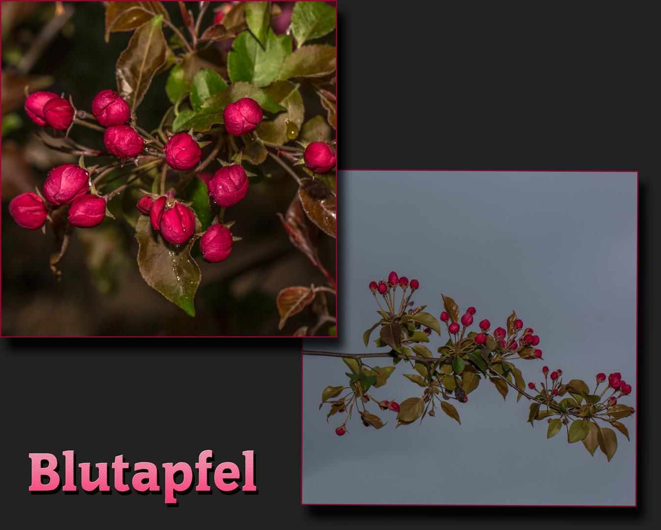 Blutapfel-Blüten
