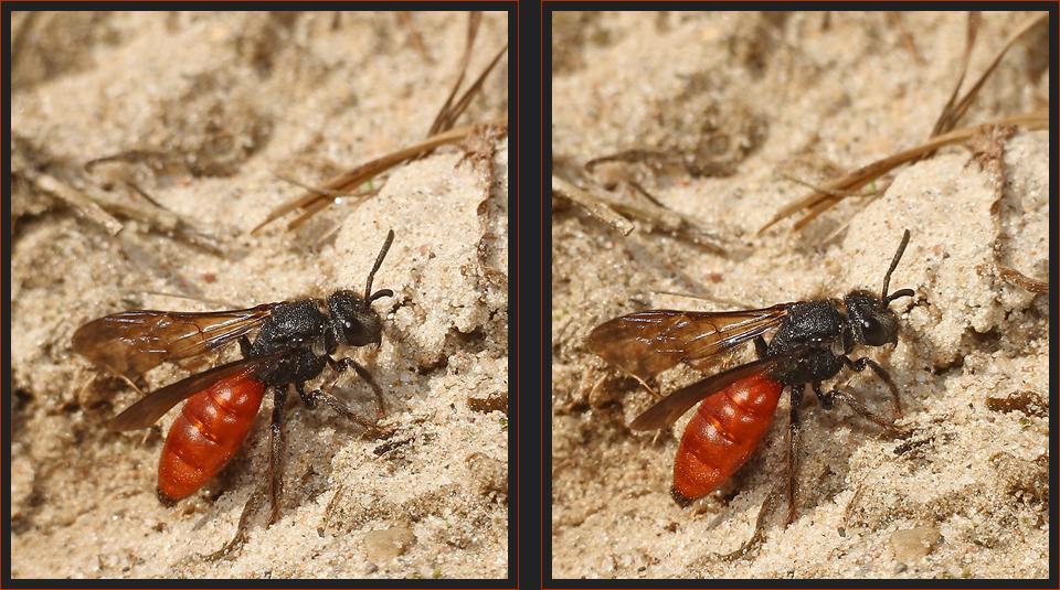 Blutbiene [3D]