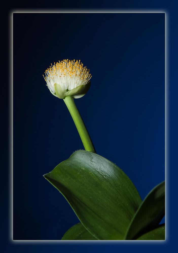 Blutblume (Haemanthus albiflos)