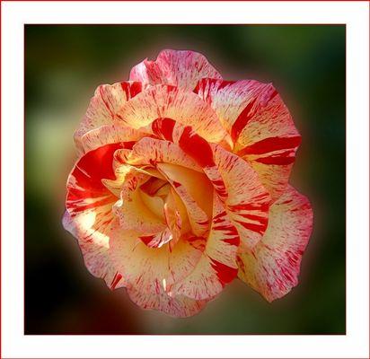 """""""Blutende"""" Rose"""