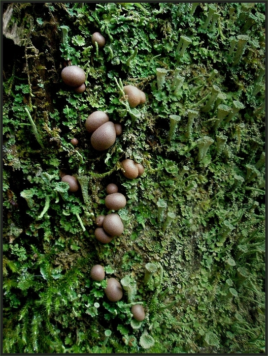 Blutmilchpilz ... Lycogala epidendrum