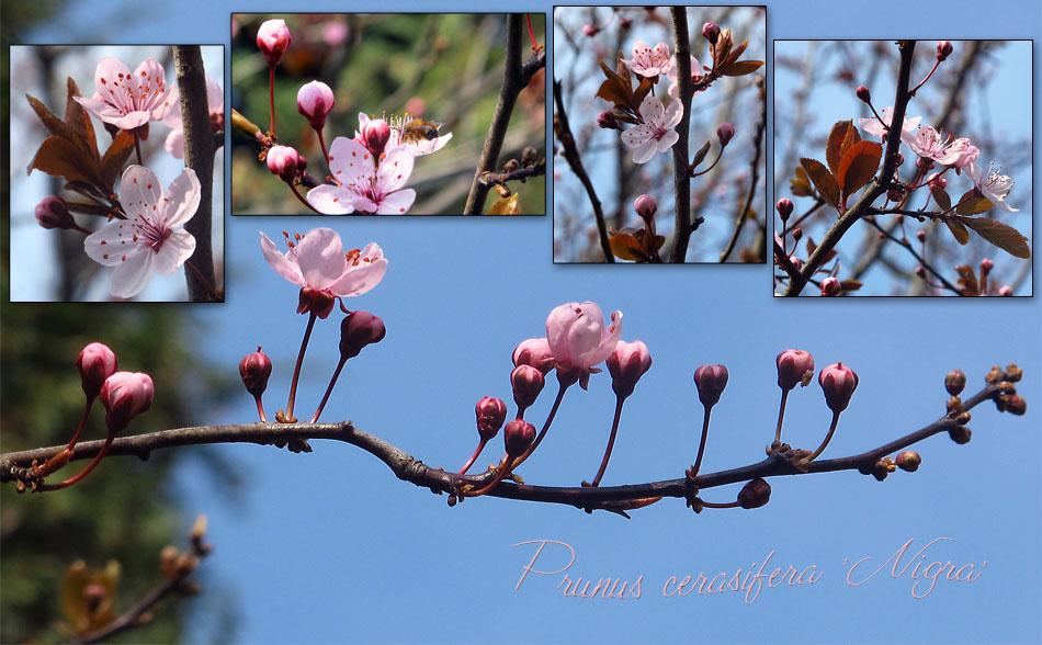Blutpflaumen - Blütentraum