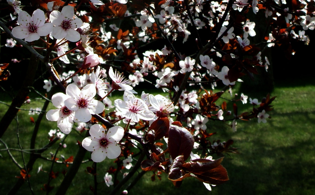 Blutpflaumenbaum