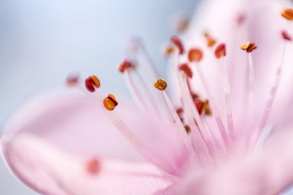Blutpflaumenblüte