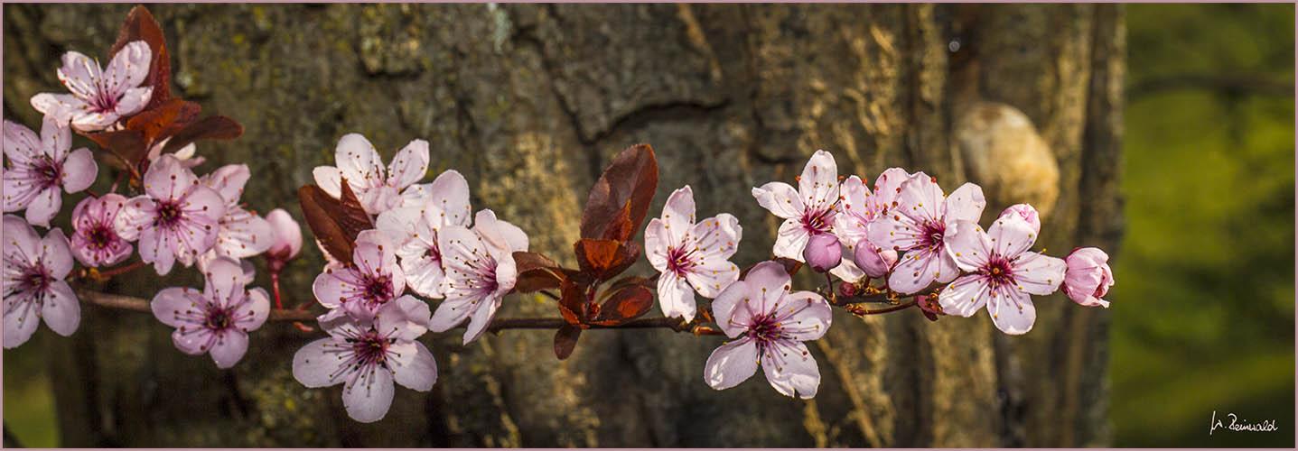 Blutpflaumenblütenpano