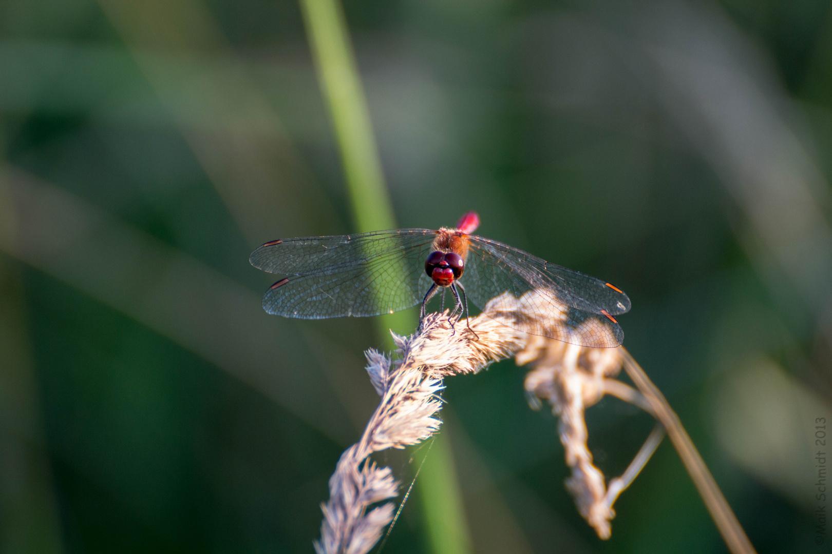 Blutrote Heidelibelle
