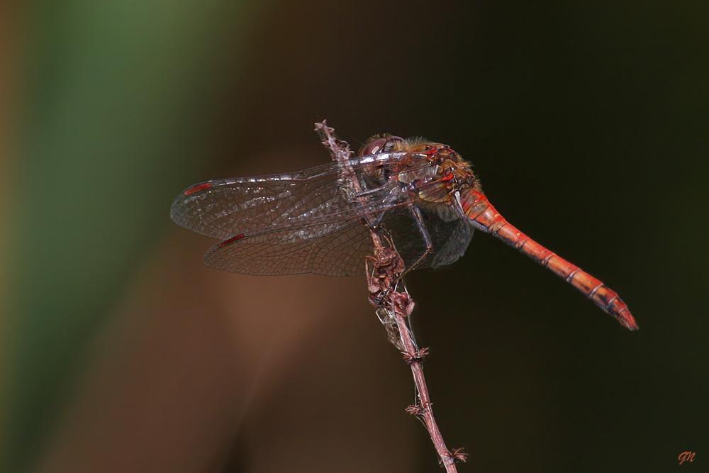 Blutrote Heidelibelle (Männchen) Sympetrum sanguineum