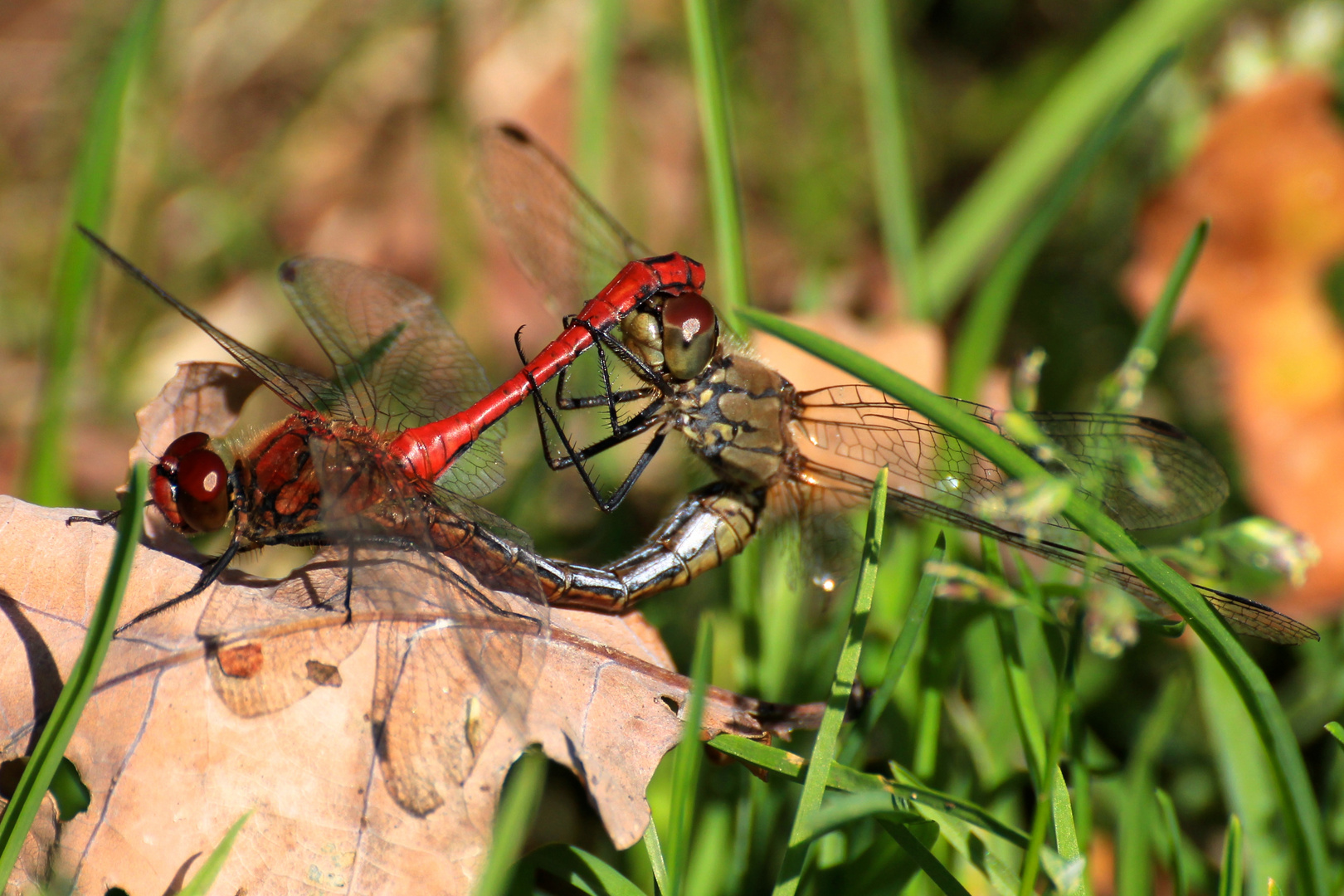 Blutrote Heidelibelle (Paarung)