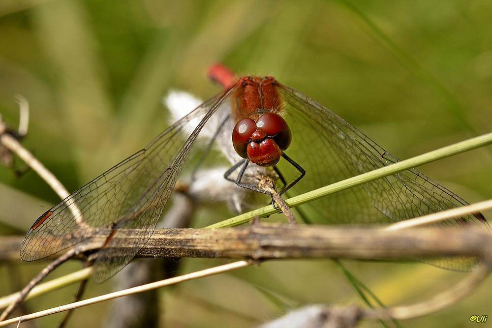 Blutrote Heidelibelle (Sympetrum sanguineum)...