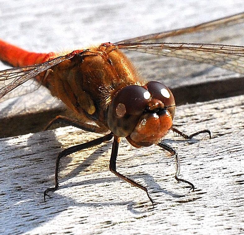 Blutrote Heidelibelle - Sympetrum sanguineum