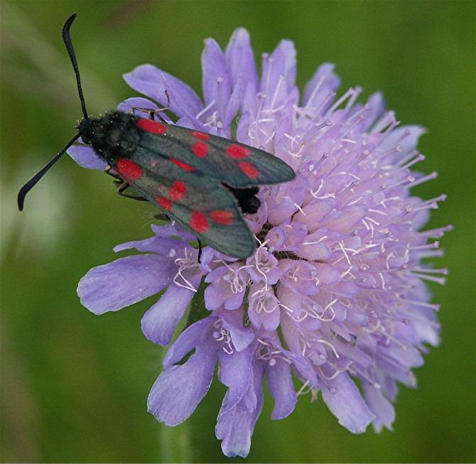 Blutströpfchen auf einer Acker - Witwenblume