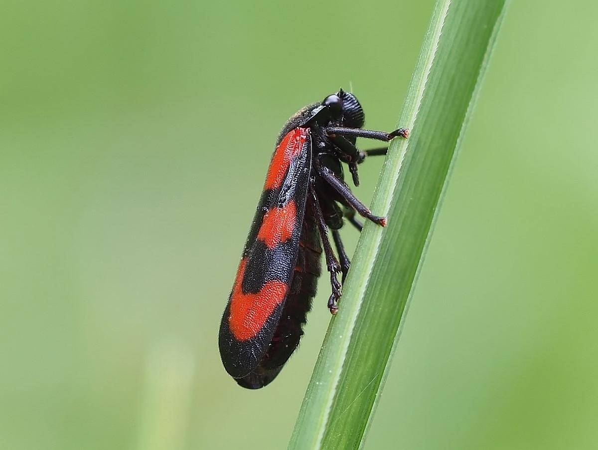 Blutzikade-(Cercopis vulnerata)