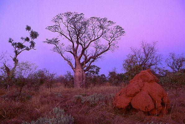 Boab Baum in den Kimberleys, Westaustralien