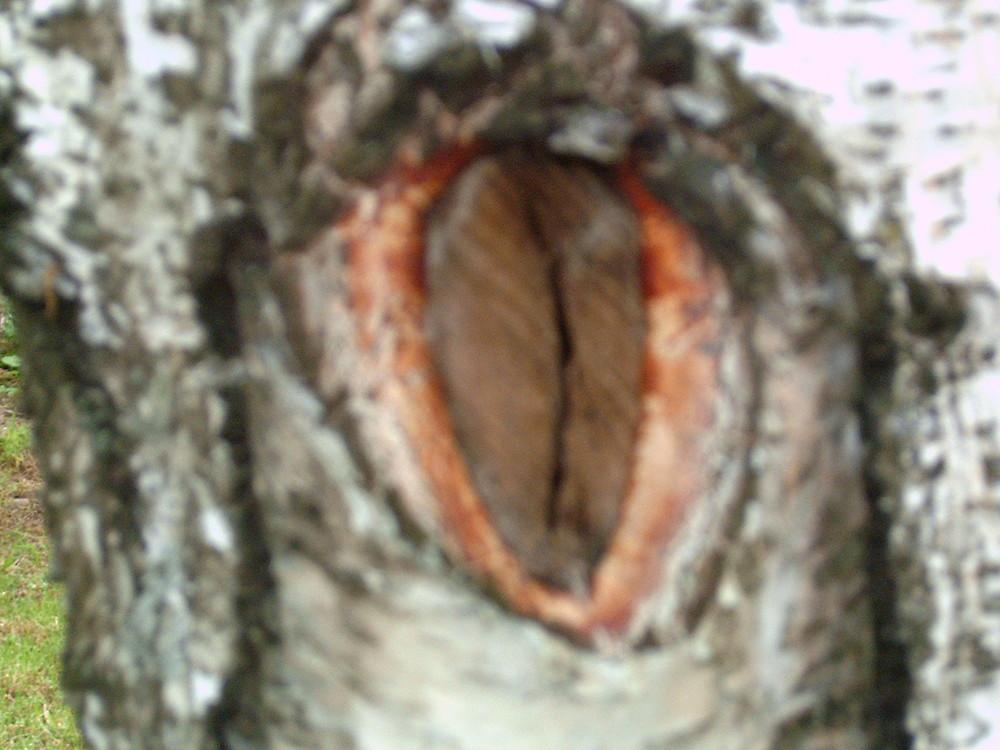 bocca di betulla