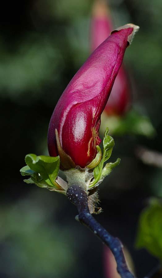 Bocciolo di Magnolia