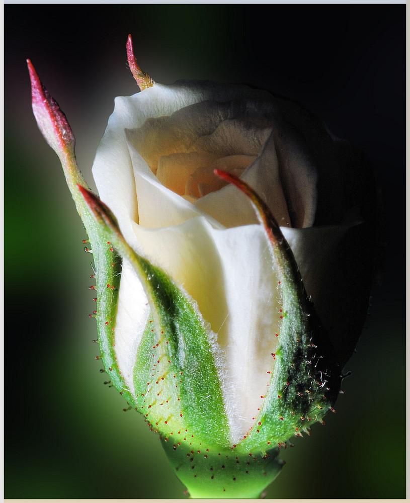 Bocciolo di rosa..