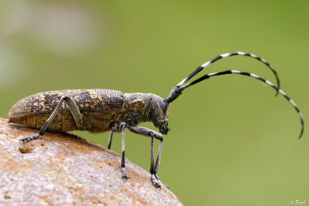 bock k fer foto bild tiere wildlife insekten bilder auf fotocommunity. Black Bedroom Furniture Sets. Home Design Ideas