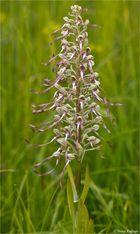 Bocks-Riemenzunge (Himantoglossum hircinum).-..