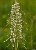 Bocks-Riemenzunge (Himantoglossum hircinum).