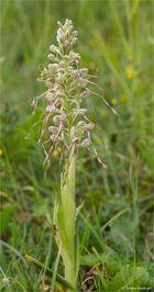 Bocks-Riemenzunge (Himantoglossum hircinum) .